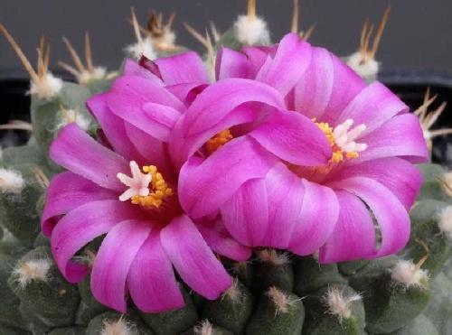 cactus_flowers_27
